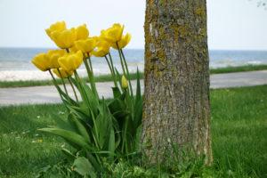 Tulpaner på Gotland